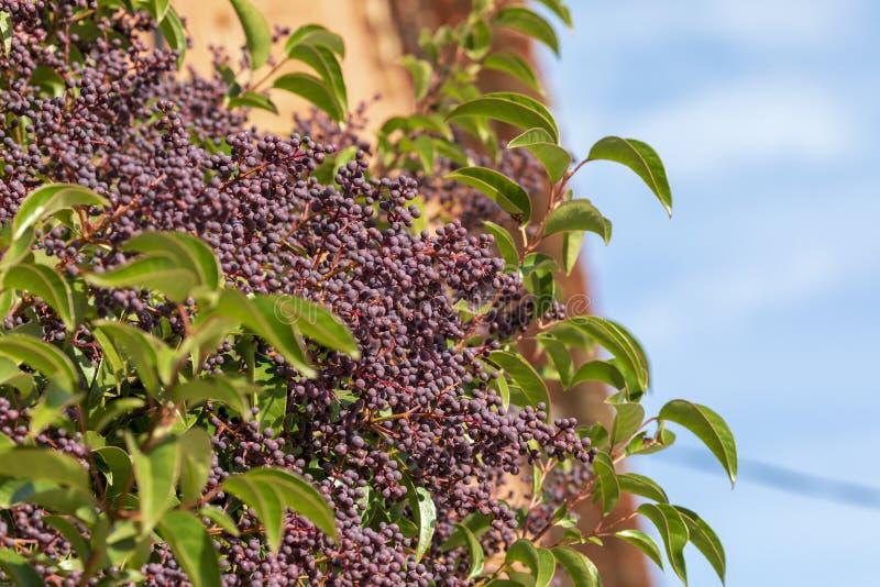 Ligustrum lucidum Arboreal Aligustre do Japão Encerramento da árvore e dos seus frutos imagem de stock royalty free