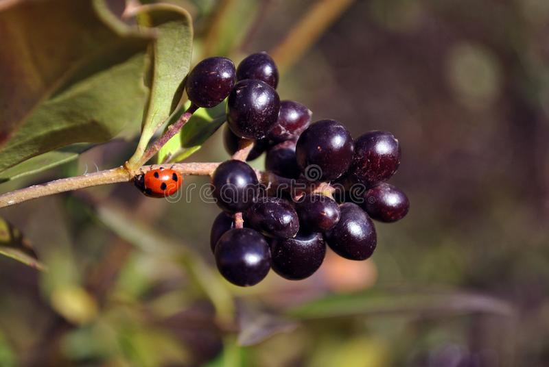 Ligustrum vulgare dziki ligustr, pospolity ligustr, Europejskie ligustrowe czarne dojrzałe jagody na gałąź z zielonymi liśćmi i b fotografia stock