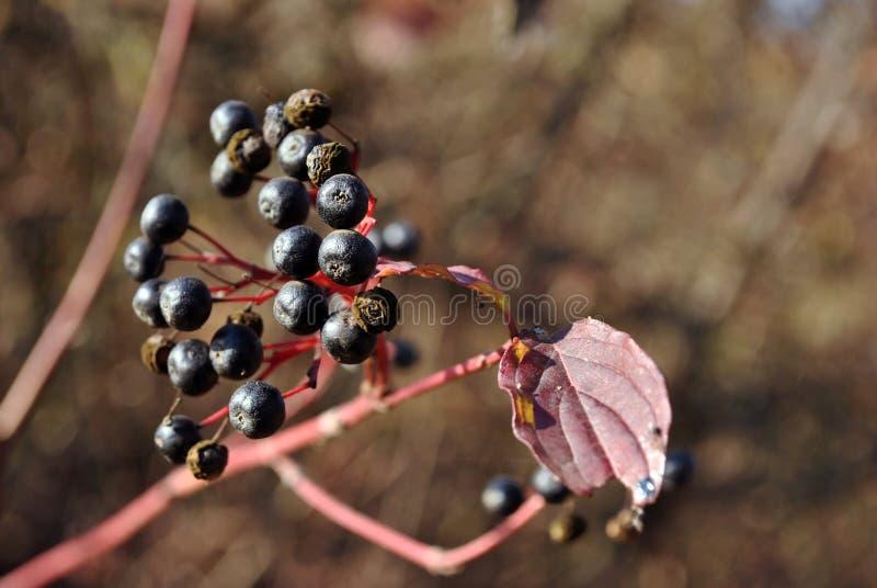Ligustrum vulgare wildes Liguster, allgemeines Liguster, reife Beeren des europäischen Ligusterschwarzen auf Niederlassung mit de lizenzfreie stockfotografie