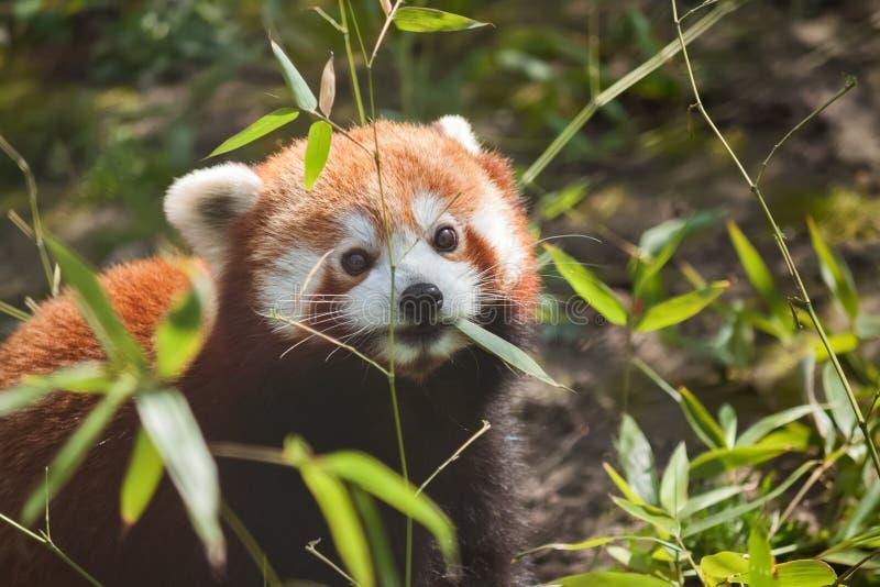 Liitle liten gullig röd panda som äter bambu arkivbild