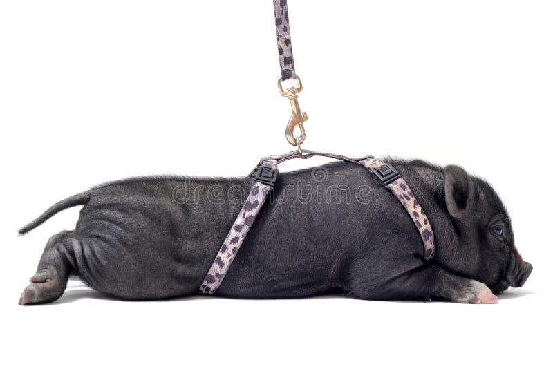 Liitle porcin image libre de droits