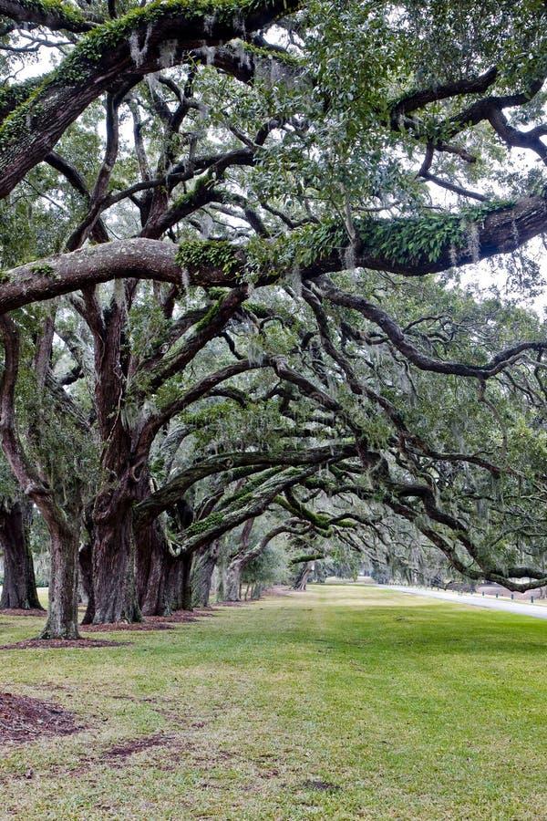Lijn van Eiken Bomen met Spaans Mos over Gras royalty-vrije stock fotografie