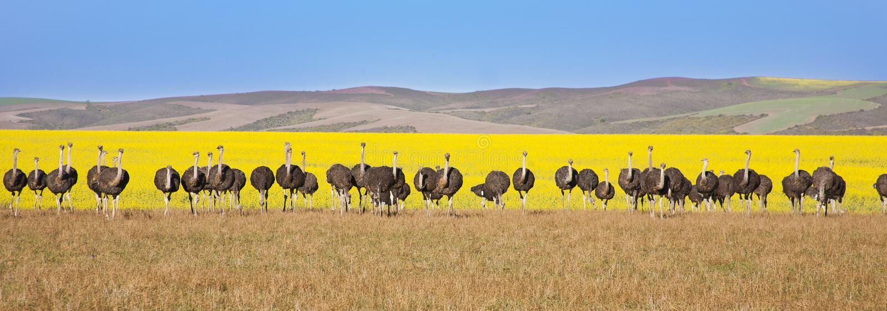 Lijn van Struisvogels