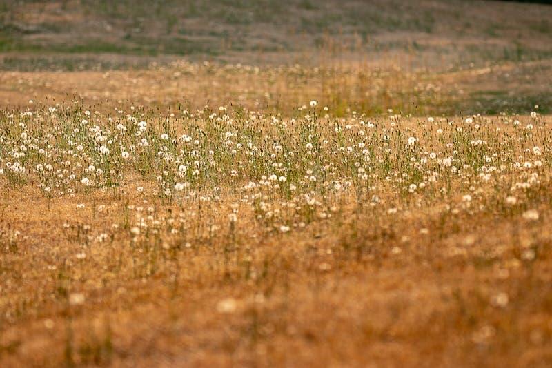 lijnen van gouden grassen en donkergroene paardebloemen stock fotografie