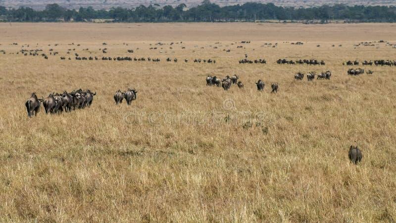 Lijnen van het meest wildebeest op de jaarlijkse migratie in masai mara, Kenia stock afbeeldingen