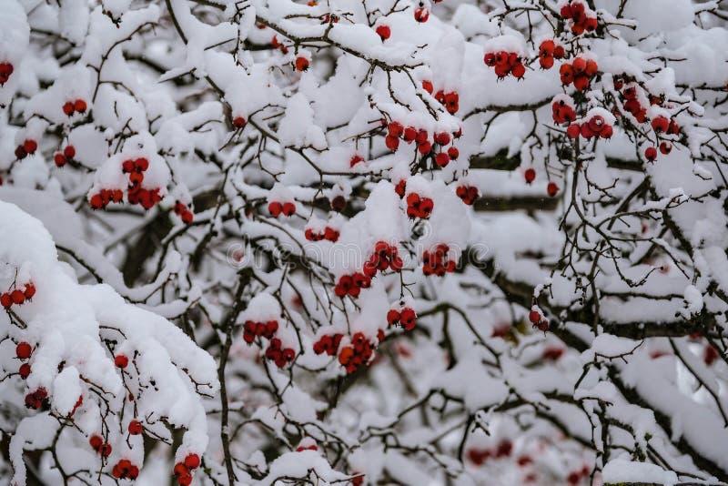 Lijsterbessenbessen na zware sneeuwval in de winter royalty-vrije stock foto's