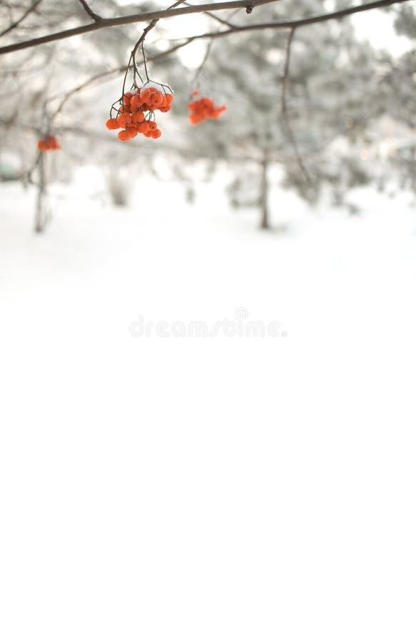 Lijsterbessentak met rode bessen Per seizoen de winter van Achtergrond christmass en van het Nieuwjaar concept Grote details royalty-vrije stock foto's