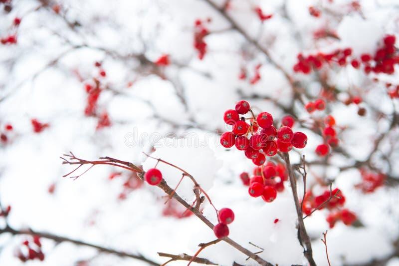 Lijsterbessentakje in sneeuw Bos van lijsterbessenbessen met ijskristallen Lijsterbessentak Bessen van rode as in sneeuw De winte royalty-vrije stock foto