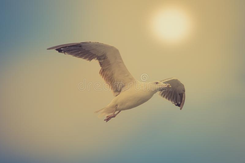 Bird alone gull in daylight in daylight royalty free stock images