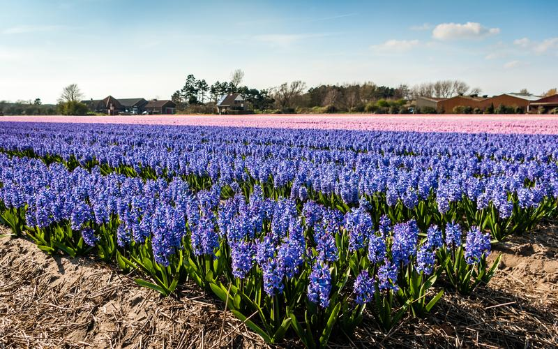 Egmond-binnen, the Netherlands - april 2016: Flower fields with purple and pink hyacinths stock image