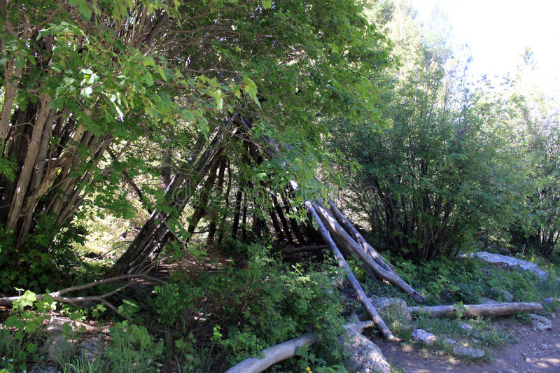 Almost like a Teepee. Sticks stacked up in the forest, look like the makings of a teepee stock image