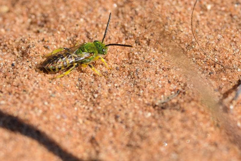 Likey a splended metaal groene bij - op een zandig gebied van het prairiemoerasland van het Crex-Gebied van het Weidenwild in Noo stock afbeelding