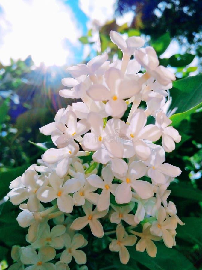 Lilás branco florescido fotografia de stock