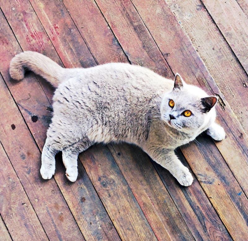 Lilás britânico de Shorthair da raça do gato com olhos alaranjados foto de stock royalty free