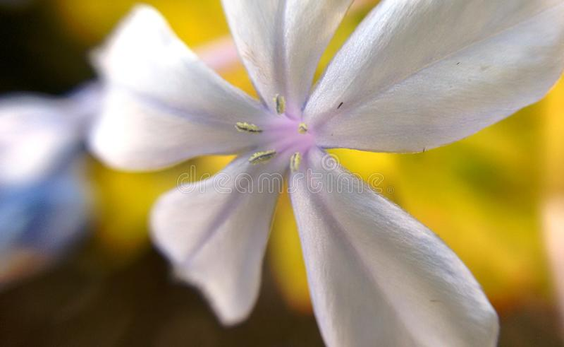 Lilás da flor fotografia de stock