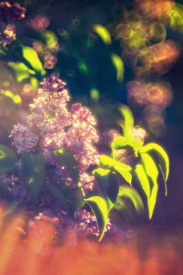 Lilás e sol foto de stock