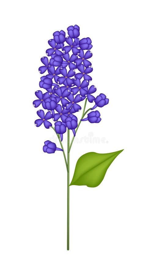 Lilás ou Syringa azul vulgar no fundo branco ilustração stock