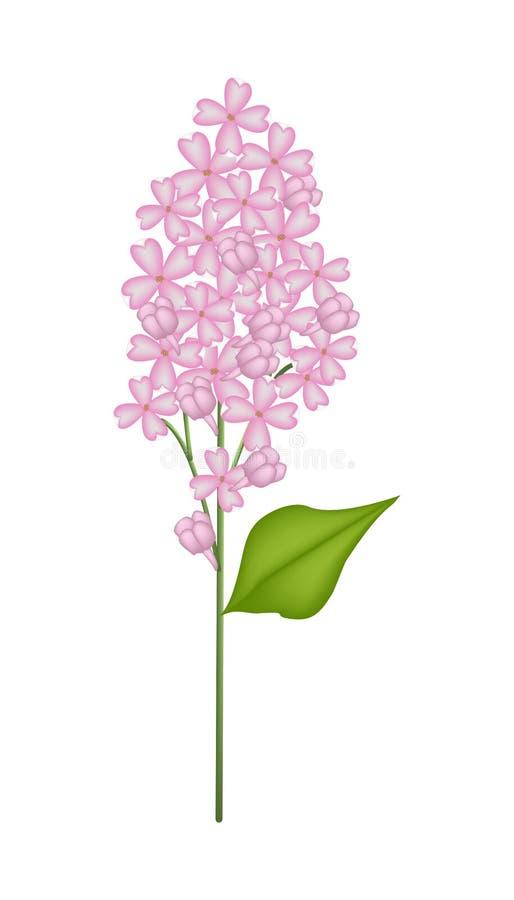 Lilás ou Syringa cor-de-rosa vulgar no fundo branco ilustração royalty free