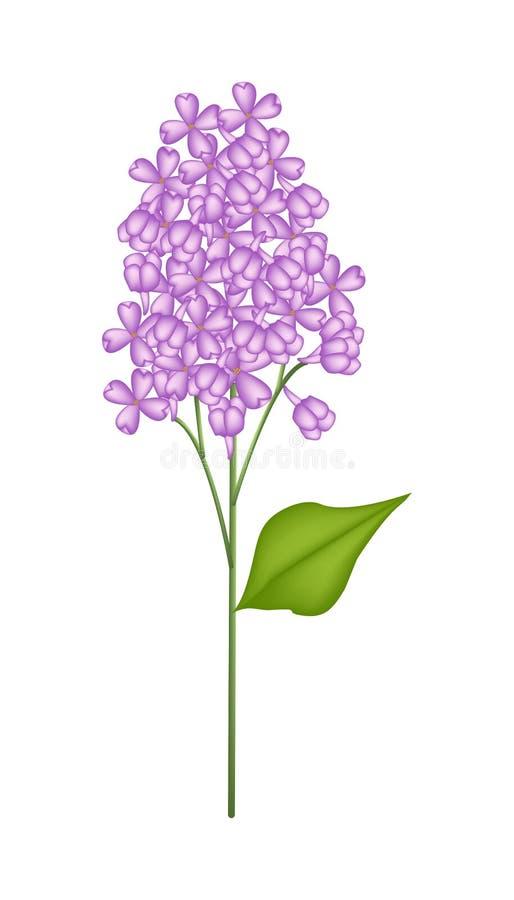 Lilás ou Syringa roxo vulgar no fundo branco ilustração royalty free