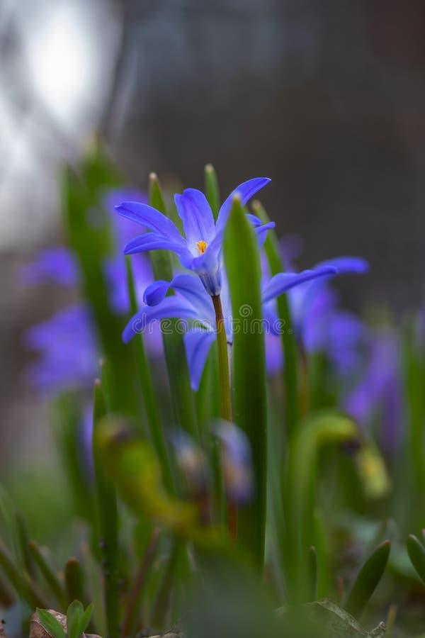 Lil?s selvagem da mola e flores azuis no prado m?stico, fabuloso Imagem art?stica delicada sonhadora fotos de stock