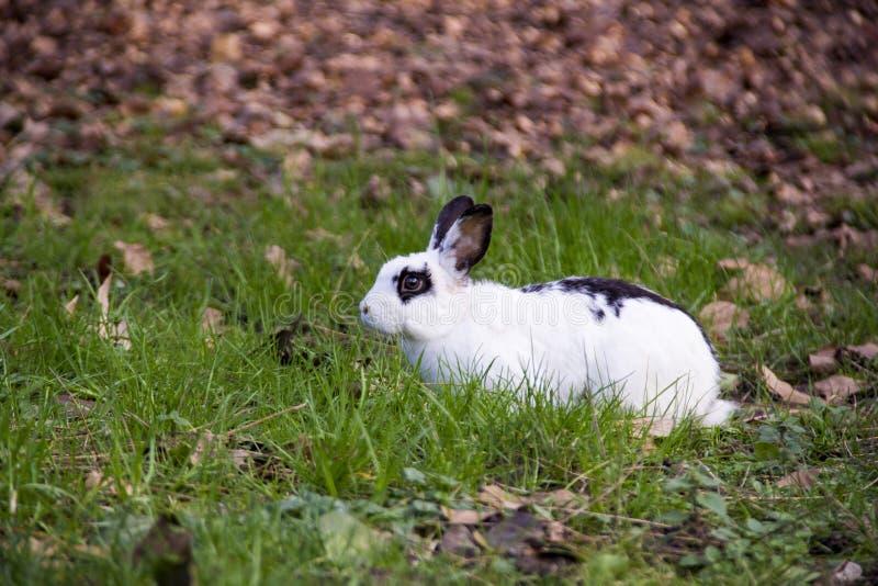 Lil Bunny Foo Foo imágenes de archivo libres de regalías