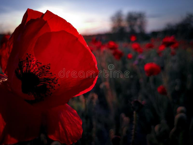 Lil red poppy stock photos