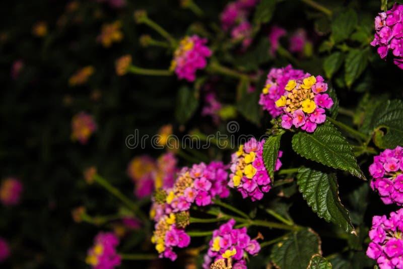 Lila και κίτρινα λουλούδια στοκ εικόνες με δικαίωμα ελεύθερης χρήσης