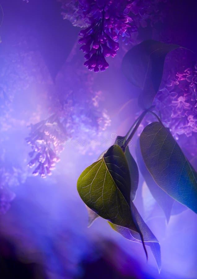 lila arkivfoto