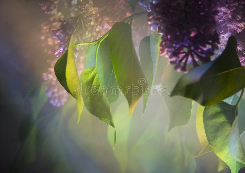 lila fotografering för bildbyråer