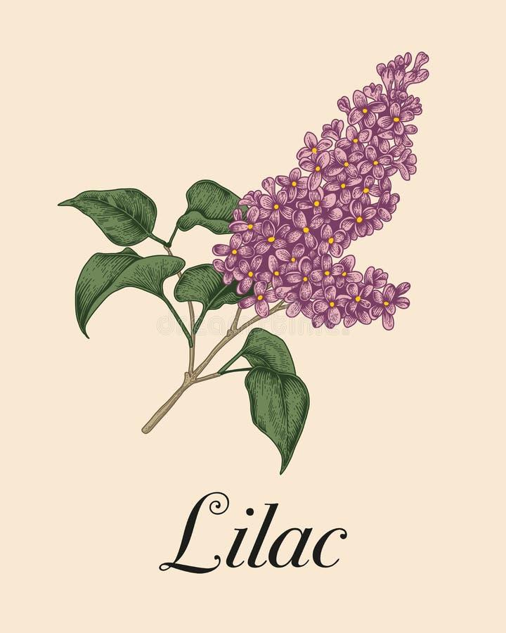 Lila Arbusto floreciente Ejemplo en estilo del vintage Apenas llovido encendido stock de ilustración