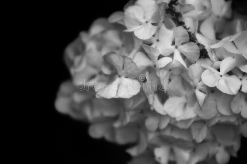 Lila blanco y negro foto de archivo libre de regalías