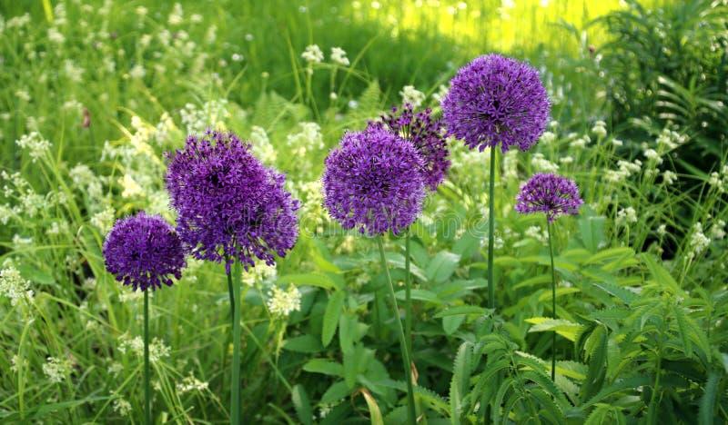 Lila blommaboll royaltyfri fotografi