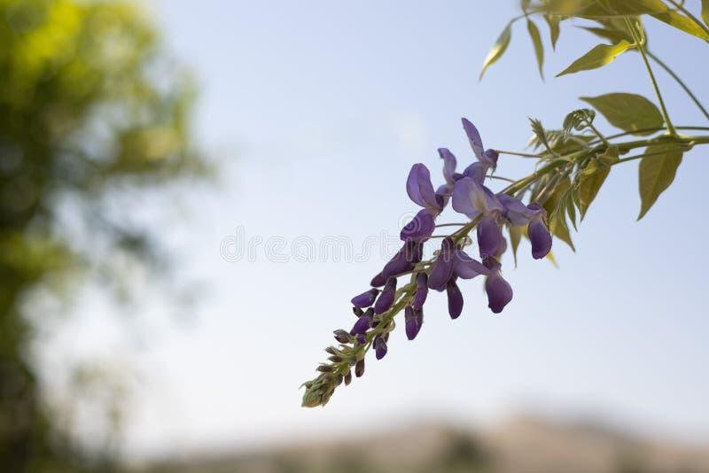 Lila blommande blommor på filial av gliciniaen royaltyfria bilder