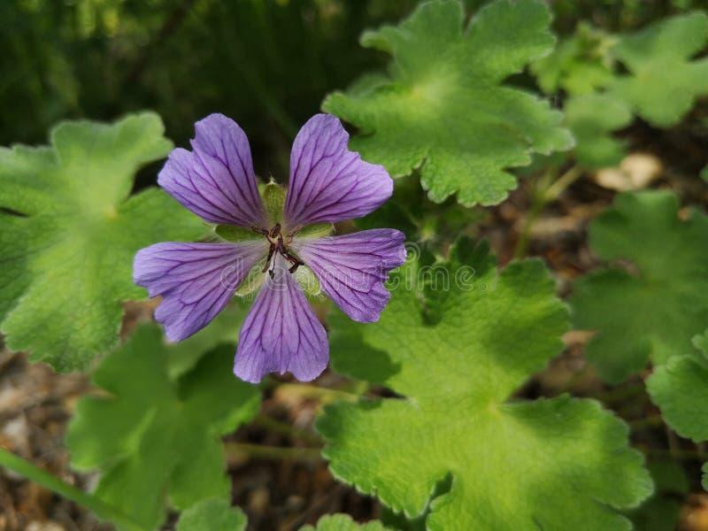 Lila blommor royaltyfria foton