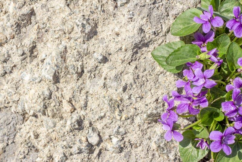 Lila blommor för Copyspace bakgrundstextur på stenen arkivbilder