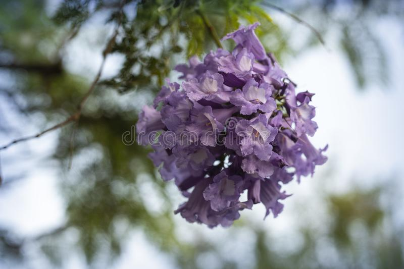 Lila blommor på filialen av jakarandaen som blommar trädet royaltyfri fotografi