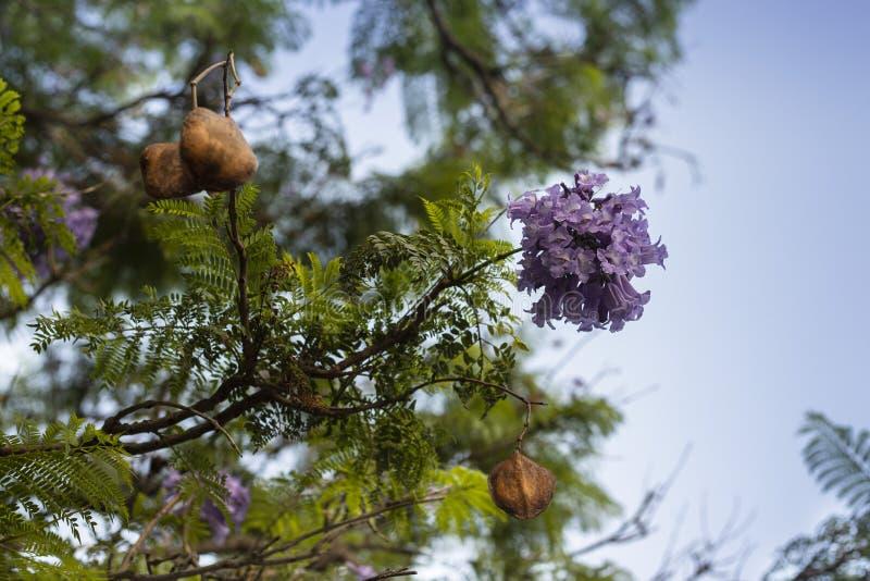 Lila blommor på filialen av jakarandaen som blommar trädet arkivbilder