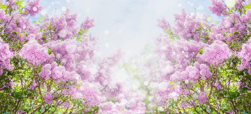 Lila blomning med bokeh över himmelbakgrund Utomhus- naturbakgrund med lila blomning i trädgård eller parkerar arkivfoto