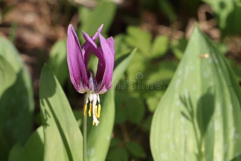 Lila Blume von Liliengewächsen stockfotos