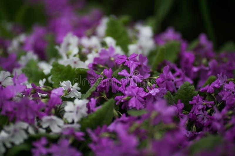 Lila Blumen in den Tropfen nach Regen lizenzfreie stockfotos