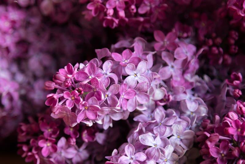 Lila Blumen - der Syringa gemein, schönes Veilchen - rosa Blüten blühen Anlage Purpurroter eurasischer Strauch der Ölbaumgewächse lizenzfreies stockfoto