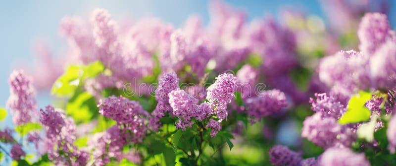 Lila Blumen, die draußen blühen lizenzfreies stockbild
