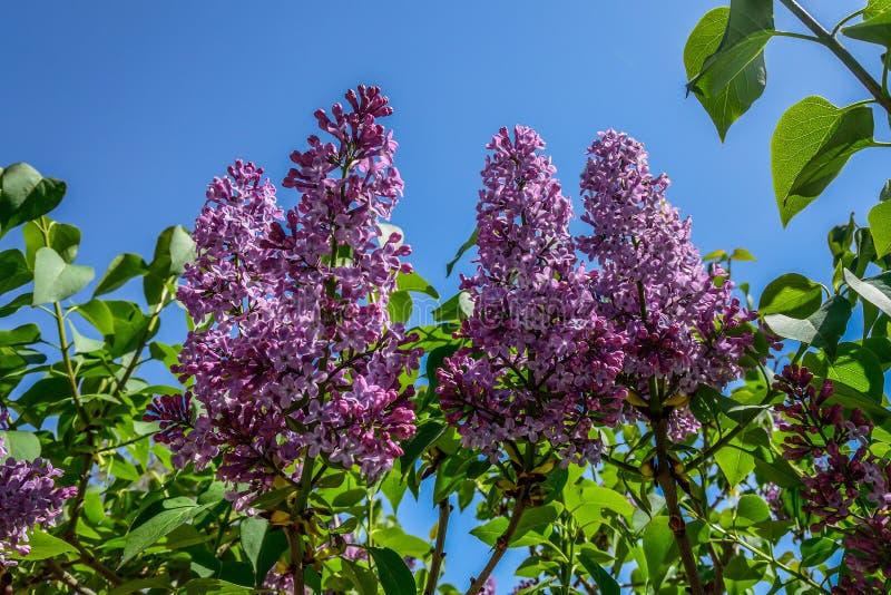 Lila Blumen gegen blauen Himmel lizenzfreie stockfotos