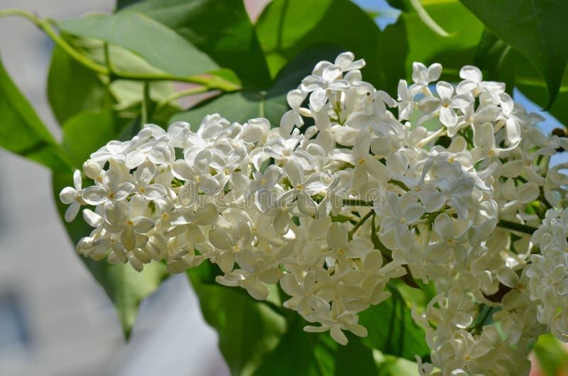 Lila Blumen im Garten im Frühjahr lizenzfreies stockbild