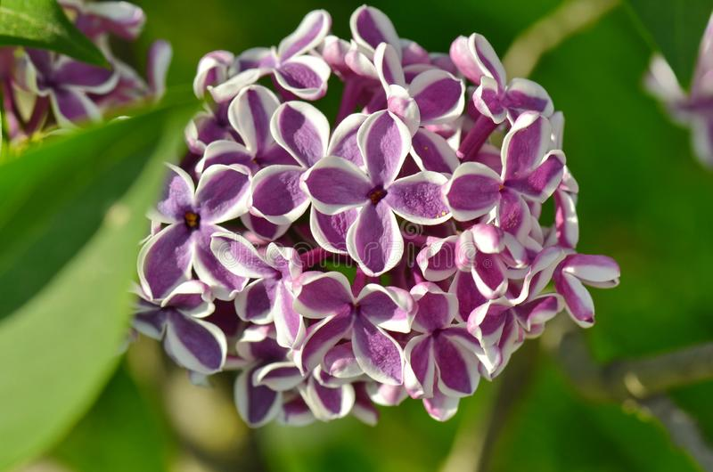 Lila Blumen im Garten im Frühjahr lizenzfreies stockfoto