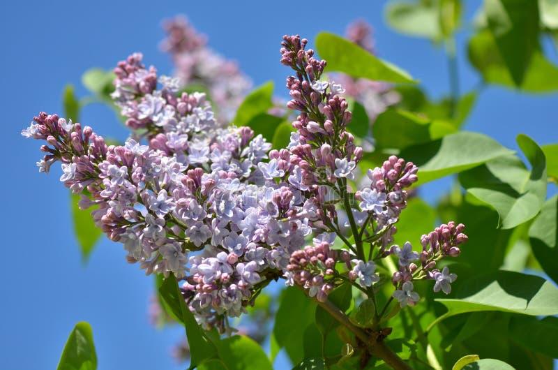Lila Blumen im Garten im Frühjahr lizenzfreie stockfotografie