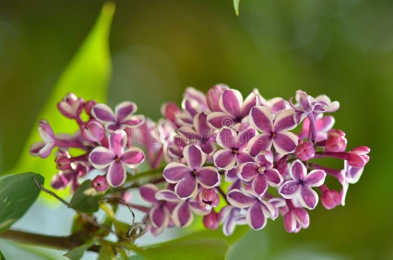 Lila Blumen im Garten im Frühjahr lizenzfreie stockbilder