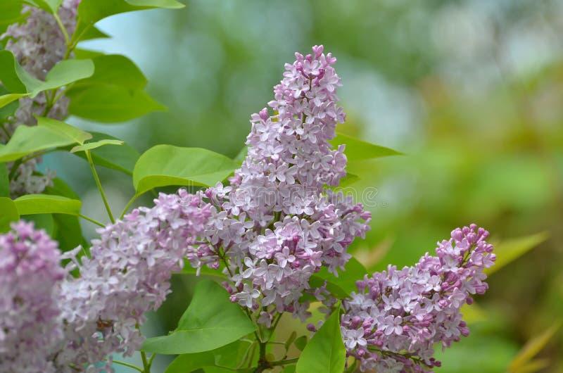 Lila Blumen im Garten im Frühjahr stockfoto