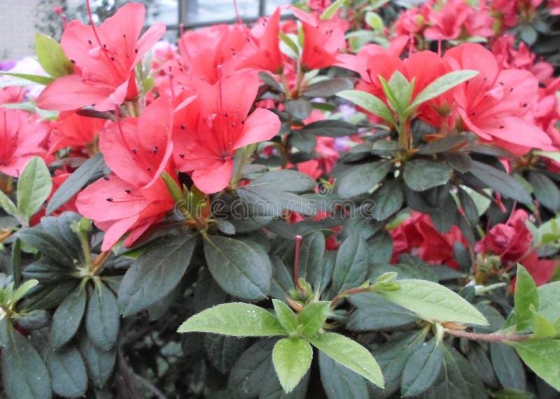 Lila Blumen, Purpurrote Blumen Blühender Baum Im Frühjahr Rose Blüht ...