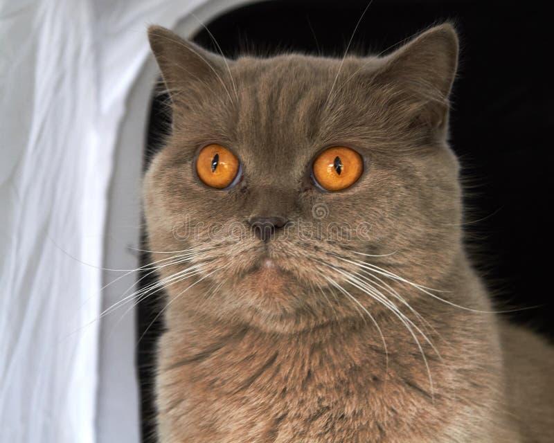 lila Britisch Kurzhaar-Katze stockbild